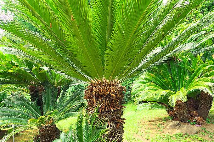 Tips to Grow Sago Palm | GardenersPath.com