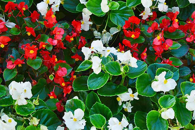 Wax Begonia: An Old Fashioned Favorite | GardenersPath.com