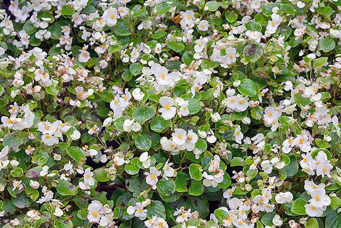 Wax Begonias | GardenersPath.com
