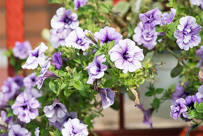 Which Variety of Petunia will You Choose? | GardenersPath.com