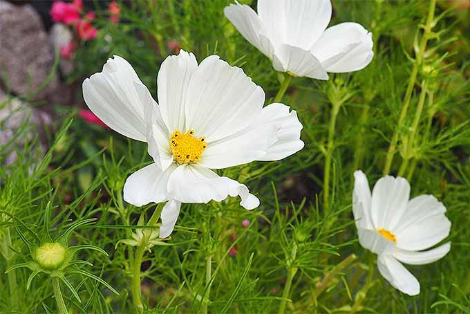 White Cosmos | GardenersPath.com