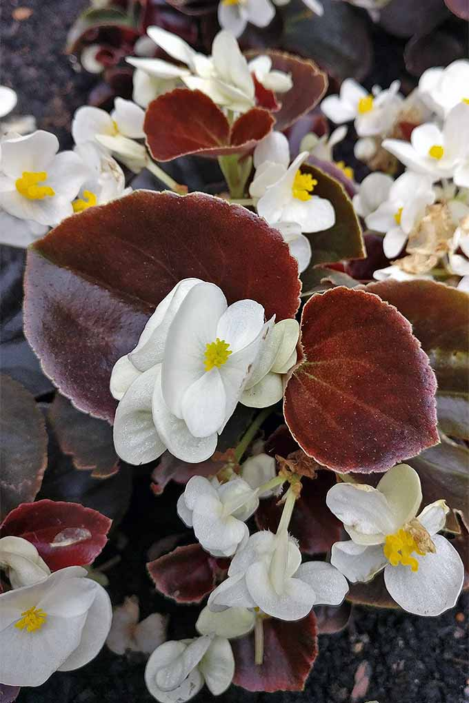 Want to add a touch of old-fashioned charm to the flower beds? Try wax begonias. We share or tips for growing them at home: https://gardenerspath.com/plants/flowers/grow-wax-begonias/