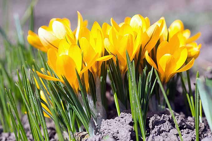 Yellow springtime crocuses | GardenersPath.com