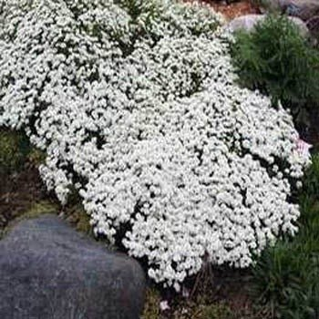 The 15 best flowering ground covers for yard gardeners path outsidepride candytuft groundcover seed mightylinksfo