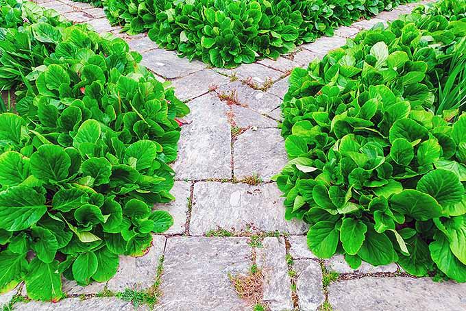 Bergenia | GardenersPath.com