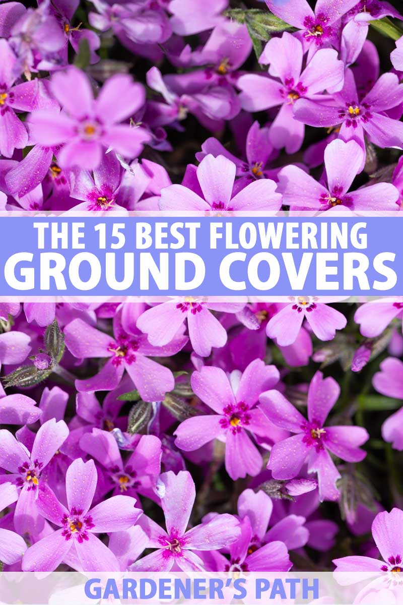The 15 best flowering ground covers for yard gardeners path a close up of a purple pink carpet of flowering creeping phlox izmirmasajfo