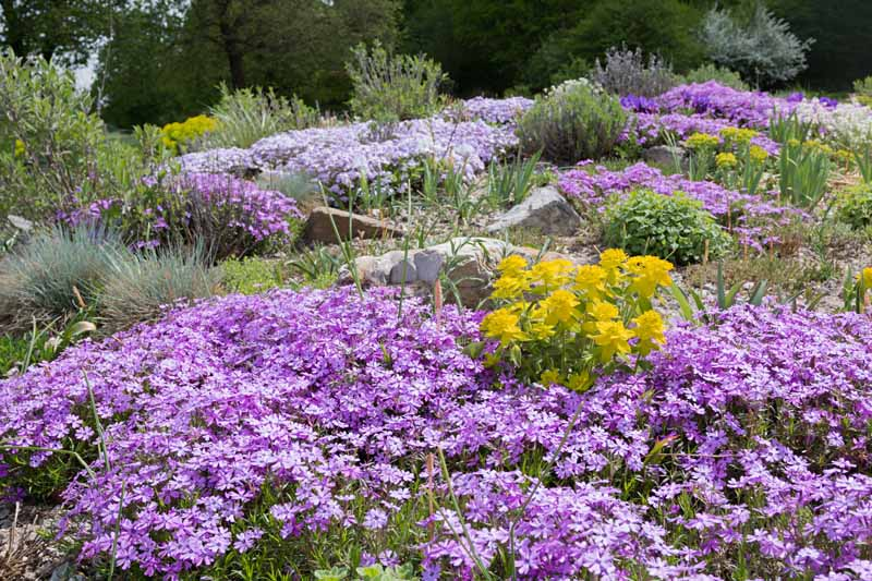 Purple creeping phlox and various grasses cover a rock garden.