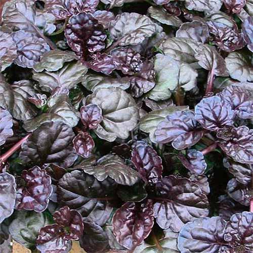 'Black Scallop' Ajuga | GardenersPath.com