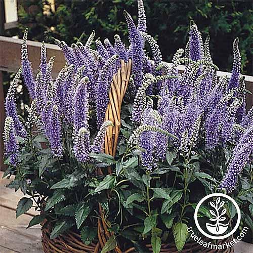 Blue veronica flowers | GardenersPath.com