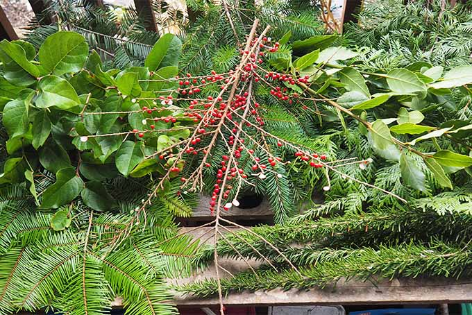 Evergreen Boughs and Red Berries for a Decorative Christmas Swag | GardenersPath.com