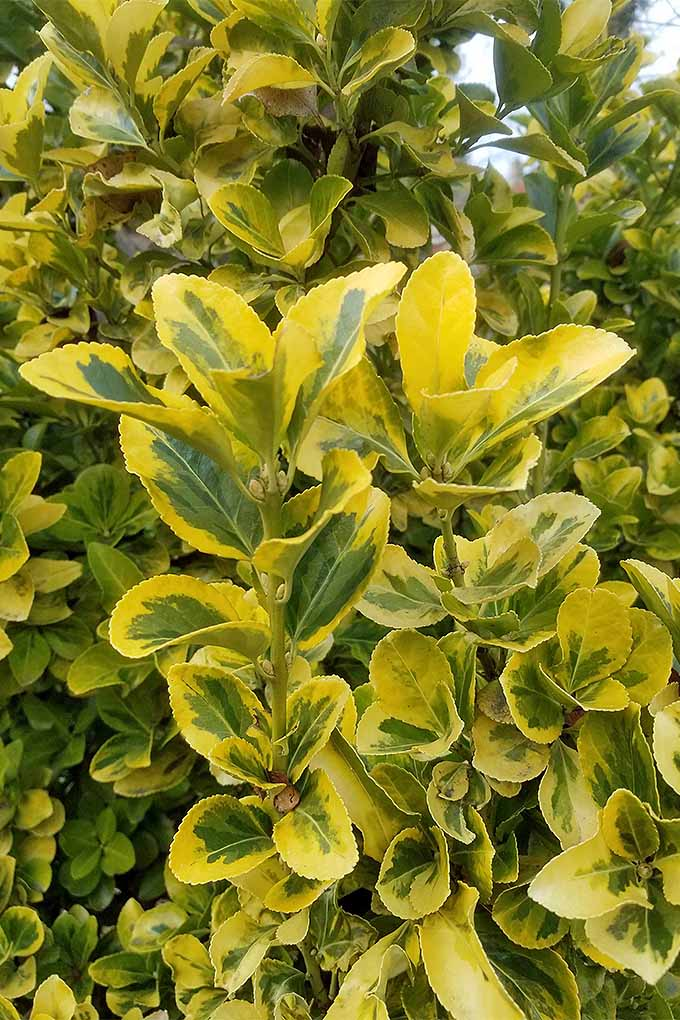 Golden euonymus is excellent for wintertime decorating. We'll teach you how to make your own attractive holiday foliage arrangements to impress your guests: https://gardenerspath.com/how-to/design/diy-winter-decorative-arrangement/