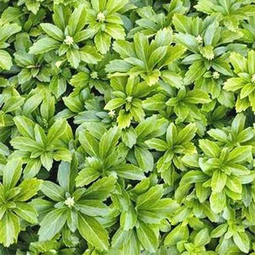 'Green Sheen' Japanese Spurge | GardenersPath.com