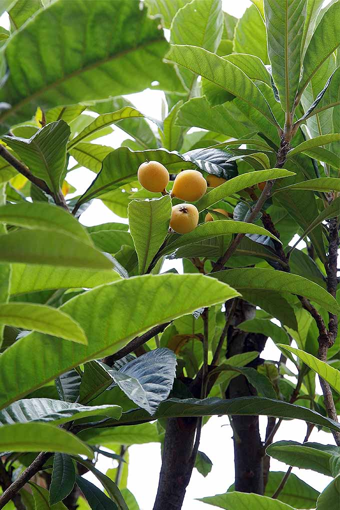 A close up vertical image of a loquat tree with small yellow fruits developing, surrounded by foliage.