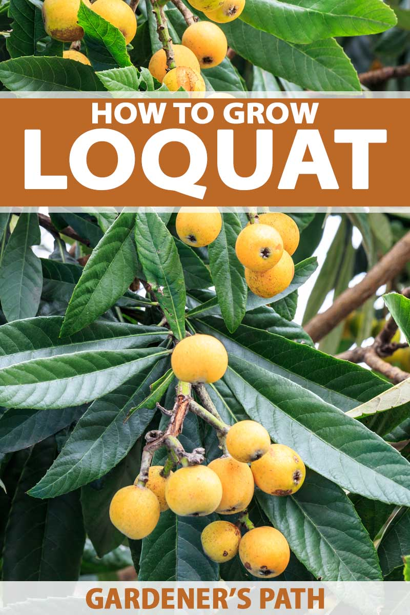 A vertical close up image of yellow-orange loquat plums growing on the tree. To the top and bottom of the frame is brown and white printed text.