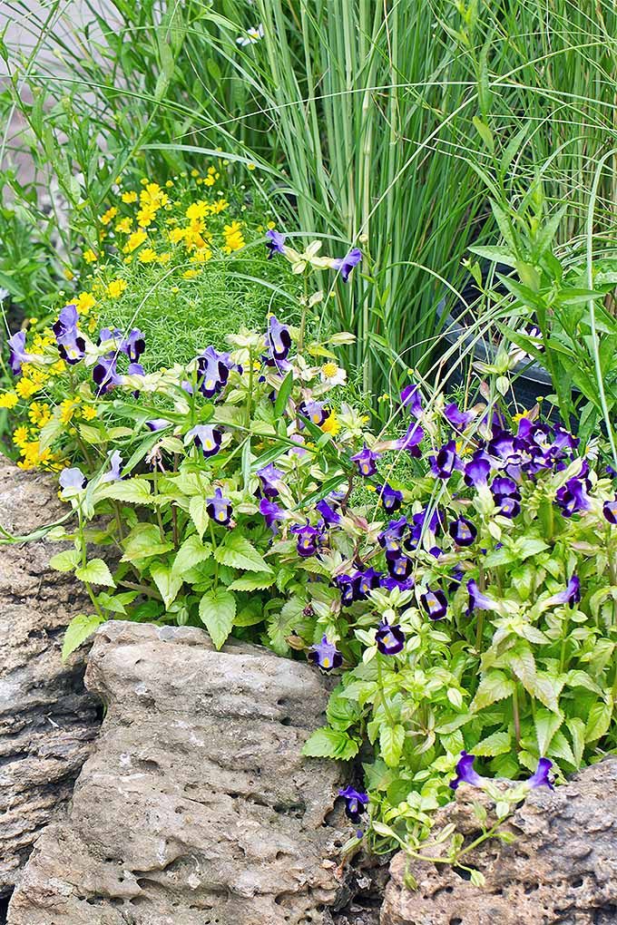 A vertical image of a garden scene with purple flowers and shrubs growing among landscape rocks.