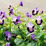 Purple, lavender, and white clown flowers | GardenersPath.com