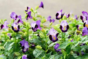 Grow Torenia for a Bright Spot in the Shade Garden