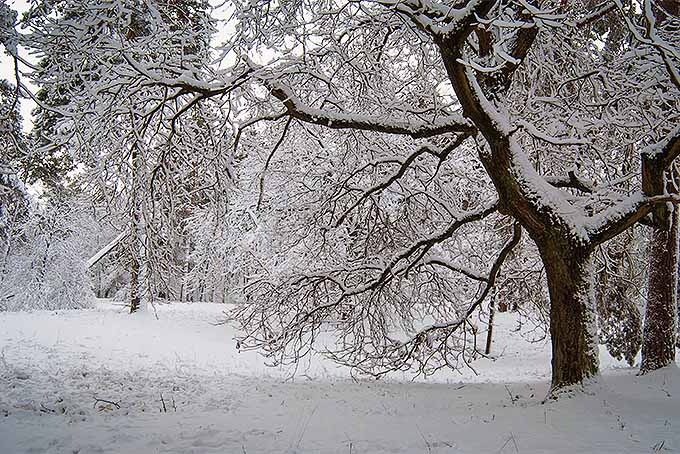 Snow-covered trees are susceptible to winter damage, unless protected in advance | GardenersPath.com