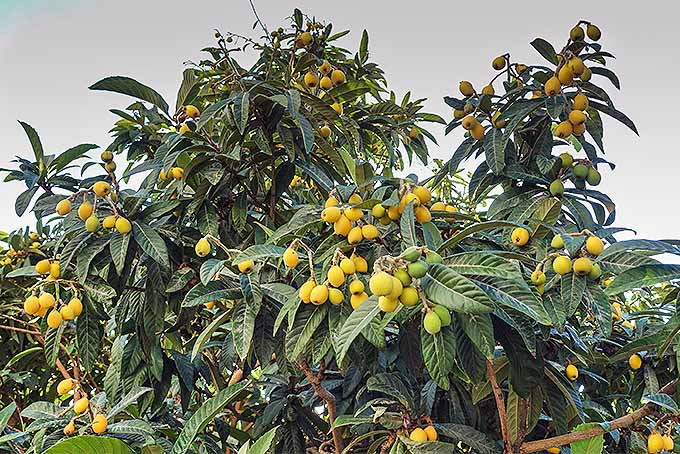 A close up horizontal image of a large E. japonica tree laden with bright yellow fruit against a gray sky background.