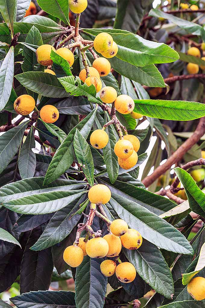 Love loquats? Or maybe you've never heard of them? The loquat tree makes a gorgeous addition to the landscape, and you can enjoy the added bonus of the flavorful fruit. Learn more: https://gardenerspath.com/plants/fruit/grow-loquat/ #loquat #gardening