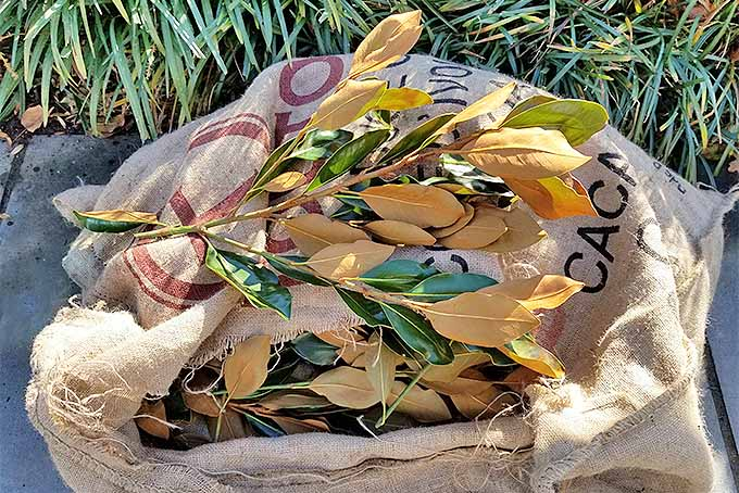 Magnolia Leaves for Winter Arrangements | GardenersPath.com