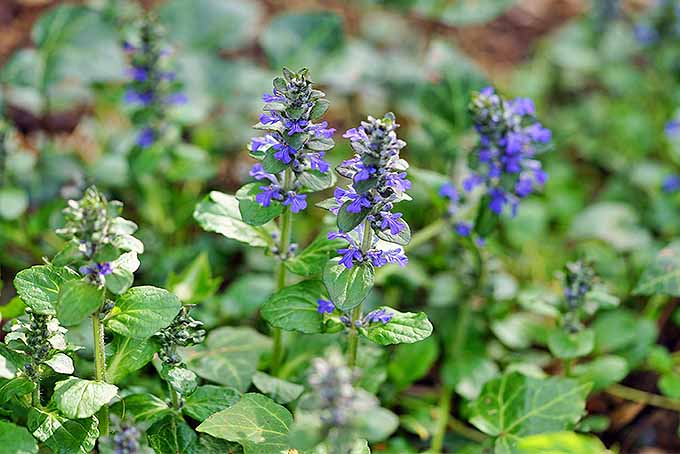 The 15 best flowering ground covers for yard gardeners path bugleweed gardenerspath mightylinksfo