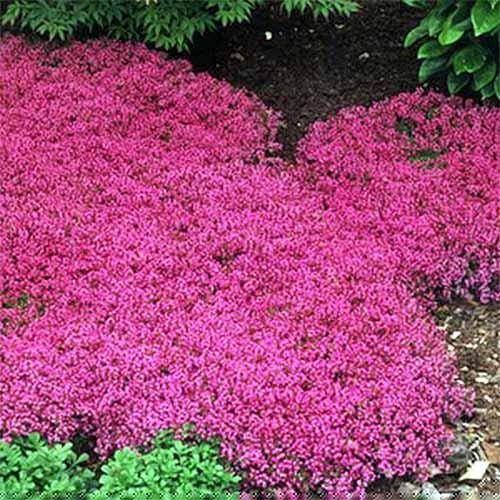 The 15 best flowering ground covers for yard gardeners path pink creeping thyme gardenerspath mightylinksfo