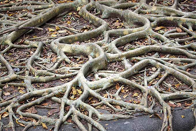 Root Stress Can Bring the Demise of the Top of a Tree | GardenersPath.com