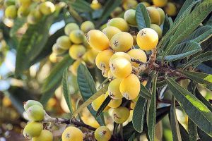 How to Grow and Care for Loquat Trees