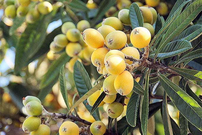 A close up horizontal image of ripening yellow loquats on the tree, surrounded by foliage pictured in light sunshine on a soft focus background.