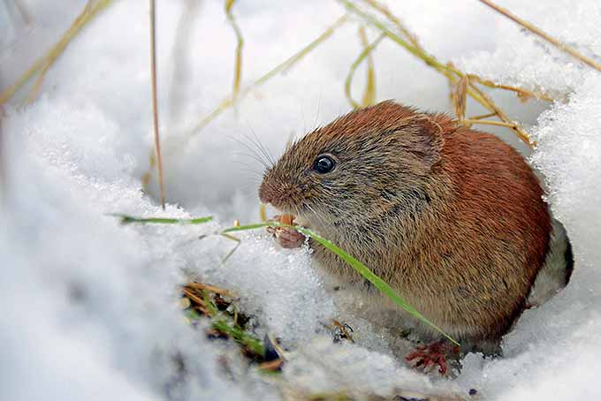 Keep mice away from your trees in the winter with these tips | GardenersPath.com