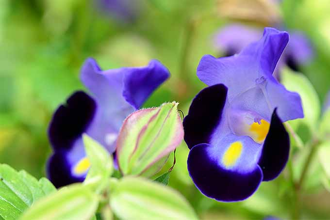 A close up horizontal image of blue, black, and yellow multicolored torenia flowers growing in the garden pictured on a soft focus background.