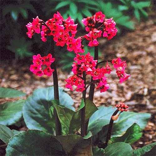 'Winter Glow' Bergenia | GardenersPath.com