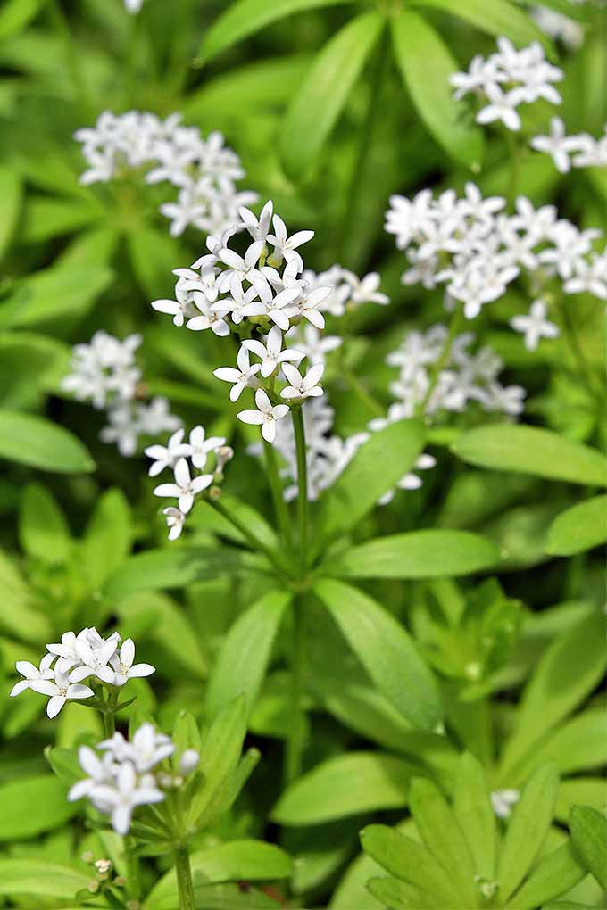 The 15 best flowering ground covers for yard gardeners path woodruff makes a beautiful flowering ground cover read our list of the best flowering ground mightylinksfo