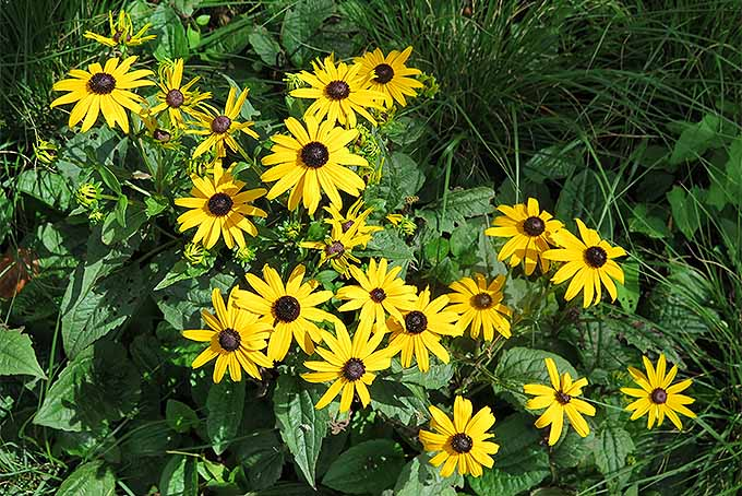 Black-eyed susan grows well from seed and transplants. | GardenersPath.com