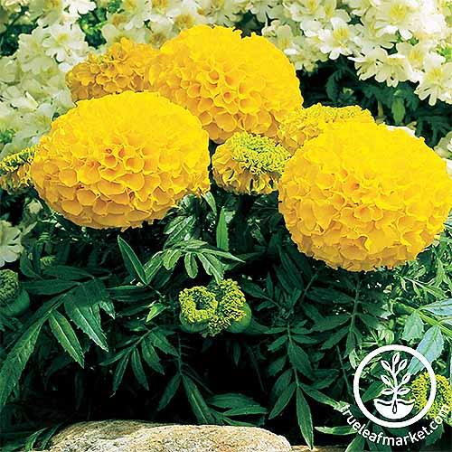 Antigua Gold Marigold Flowers | GardenersPath.com