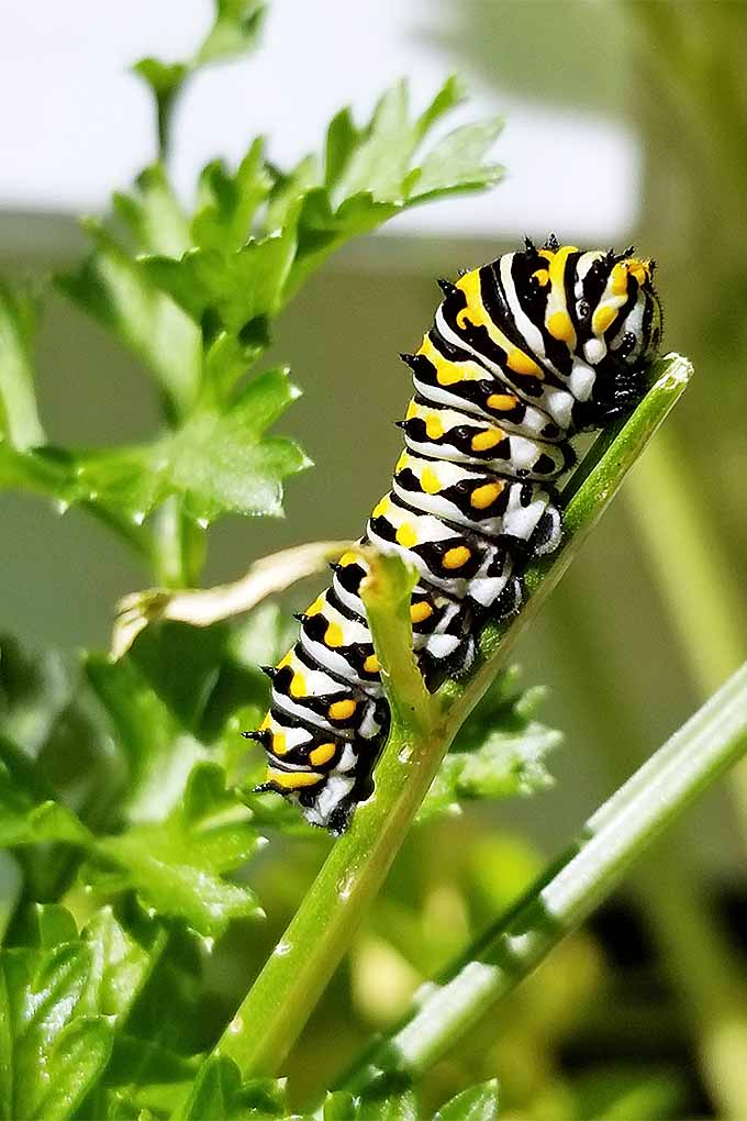 Want to encourage helpful pollinators (like swallowtail butterflies and their caterpillars) and discourage pests in the garden? We'll teach you our top tips for spraying chemicals, as well as our favorite organic alternatives: https://gardenerspath.com/how-to/beginners/safe-chemical-application/