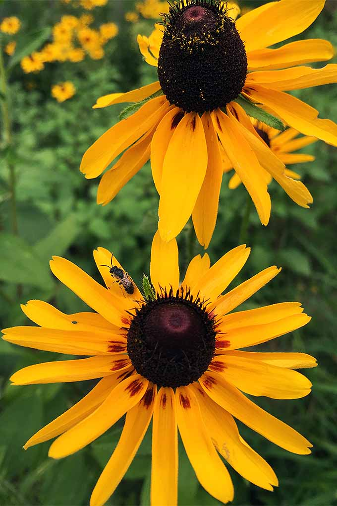 Want to attract bees and other pollinators to your yard? Plant black-eyed susans! Try our tips: https://gardenerspath.com/plants/flowers/grow-black-eyed-susan/