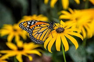 How to Grow Black-Eyed Susans, a Garden Favorite