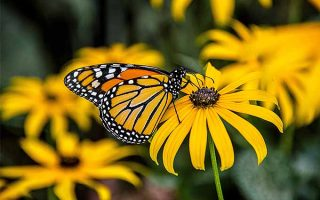 Bring butterflies and other pollinators to your yard with R. hirta | GardenersPath.com
