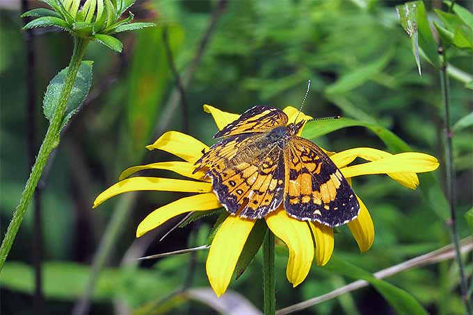 Silvery checkerspot butterfly loves black-eyed susan | GardenersPath.com