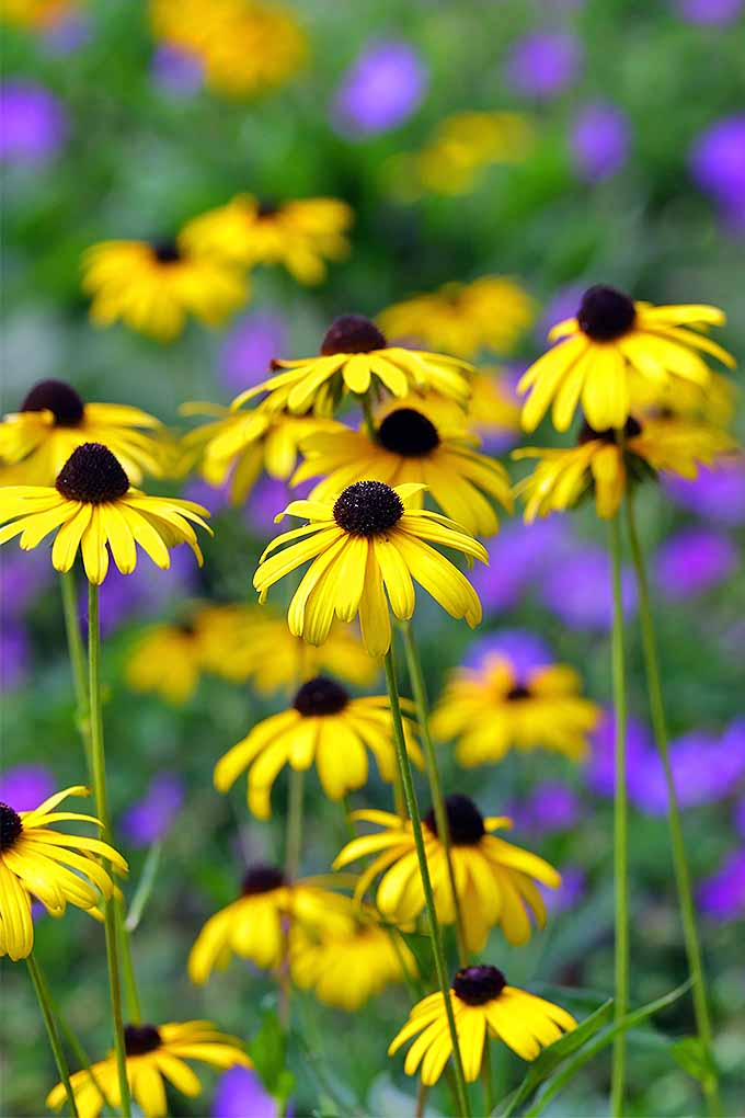 A garden classic, especially on the East Coast, black-eyed susan or Rudbeckia hirta makes a welcome addition to any perennial garden. We share our tips for growing these classic beauties at home: https://gardenerspath.com/plants/flowers/grow-black-eyed-susan/