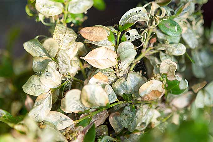 Closeup of an unwanted caterpillar infestation on a shrub in the garden. | GardenersPath.com