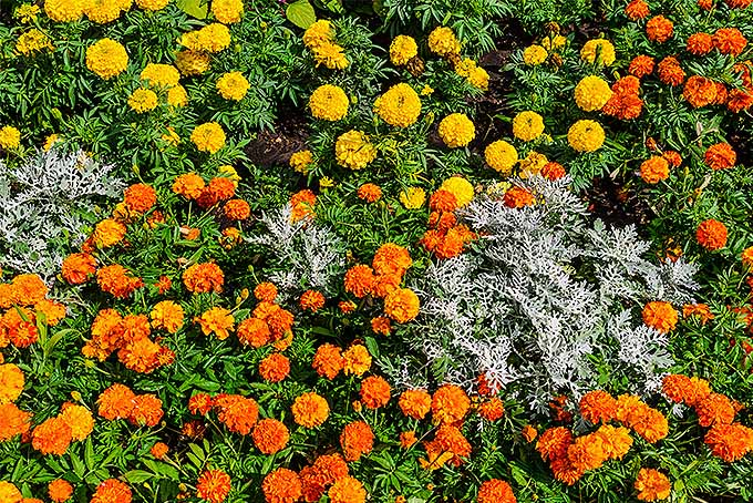 Companion planting orange and yellow marigolds with dusty miller | GardenersPath.com