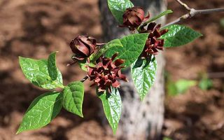 Carolina allspice (Caslycanthus floridus).