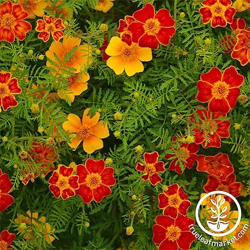 Disco Marigolds | GardenersPath.com