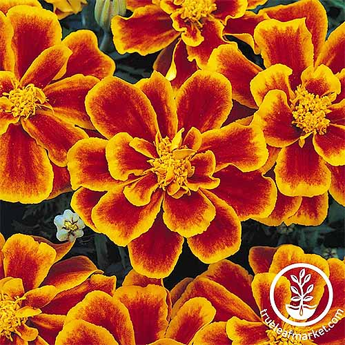 Durango marigolds with red-orange petals with yellow centers and outlines of each petal | GardenersPath.com