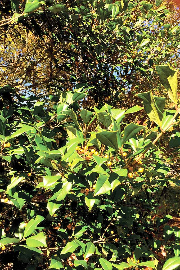 Yellow-fruited American holly (Ilex opaca).