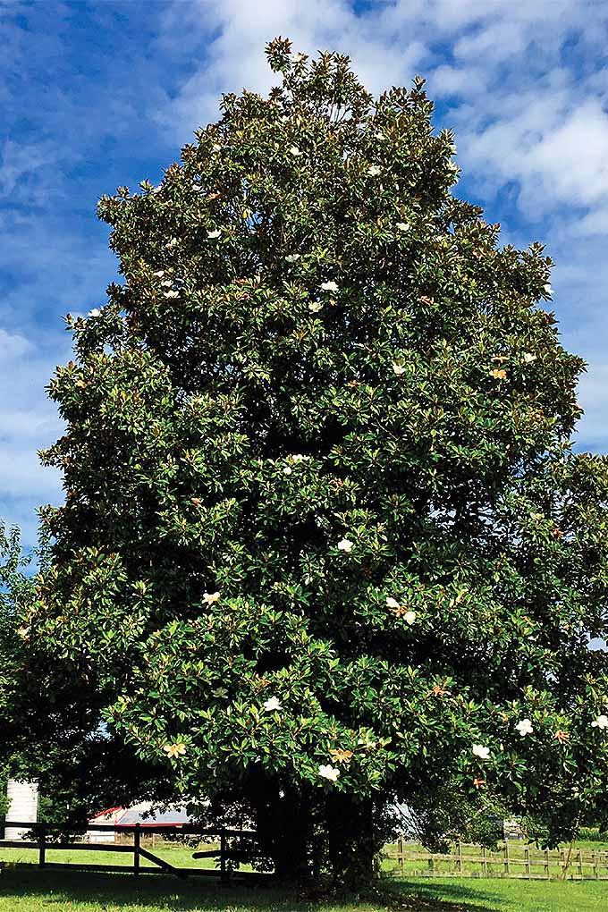 Southern magnolia (Magnolia grandiflora).