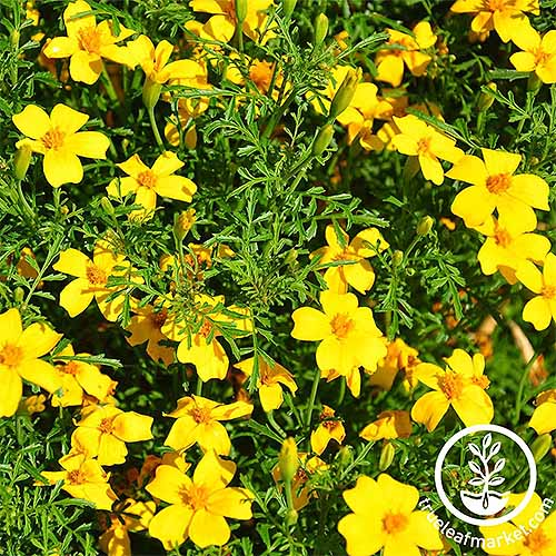 Yellow Gem marigolds | GardenersPath.com